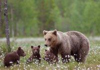 В Швеции медведи научились бороться с охотниками