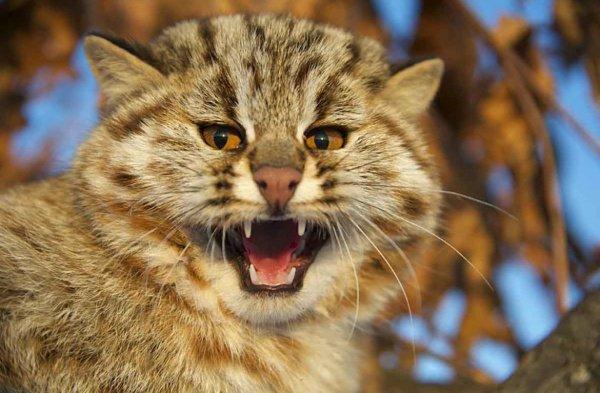 По подсчетам специалистов Wildcat Haven, популяция данного вида в лесу Клэшиндарроч насчитывает в общей сложности от 10 до 15 особей