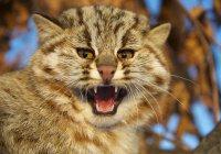Гигантского лесного кота запечатлели на видео в Шотландии