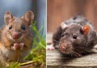 Ученые: Слезы крыс парализуют мышей