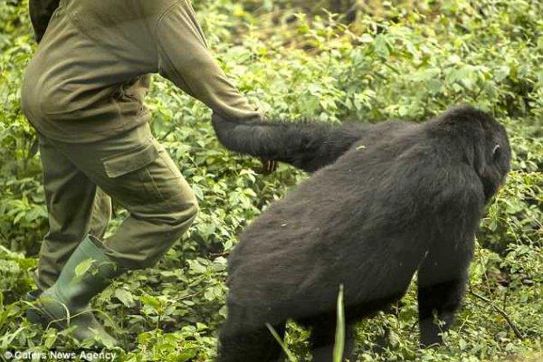 В частности, гориллы не упускали случая взять Андре за руку или заключить его в объятия