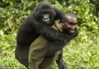 В Конго запечатлели объятия гориллы и смотрителя зоопарка (ФОТО)