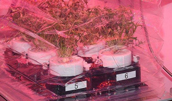 NASA планирует растить «космическую капусту» наМКС