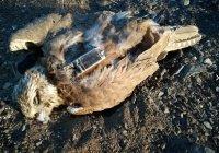 Последний балобан, выращенный дикими птицами, погиб в Китае