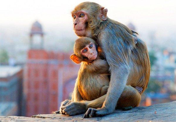 По словам местных полицейских, обезьяны похищают детей очень редко