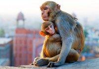 В Индии ищут обезьяну, похитившую младенца