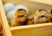 Канадские ученые раскрыли секрет цыпленка и яйца
