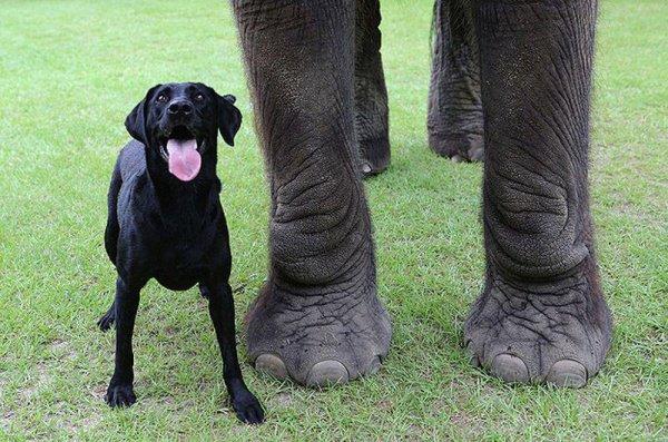 В результате слон не выдержал напора пса и ушел прочь от индийской деревни
