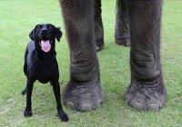 В Индии пес прогнал слона-воришку (ВИДЕО)