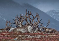 Сотни оленей погибли от голода на Ямале
