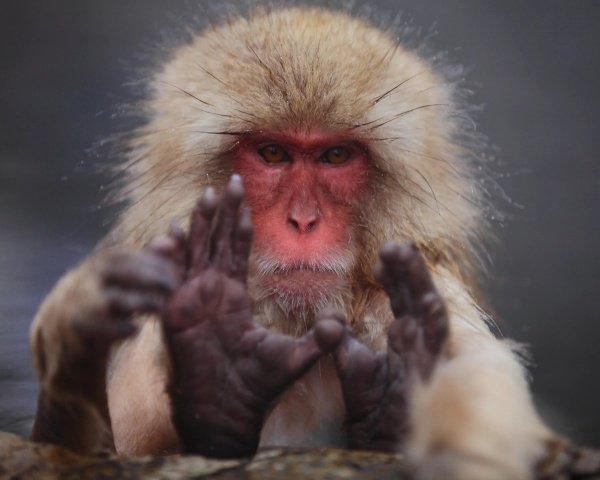 Японских макак также называют снежными обезьянами, поскольку их популяция — самая северная в мире