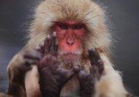 Ученые выяснили, как японские макаки снимают стресс