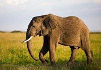 В Танзании слонов пометят спутниковыми ошейниками