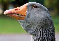 На город в США с неба рухнули 50 гусей
