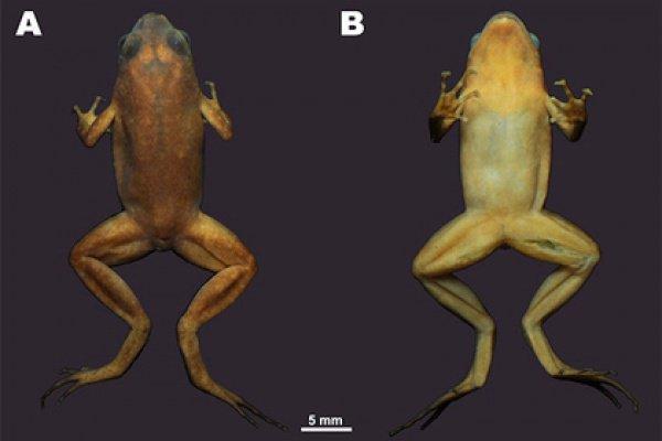 Неизвестная науке амфибия первоначально была обнаружена тайским ученым Житепом Танпрасертом