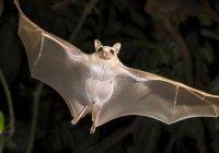 Ученые изучили мозг летучих мышей в полете