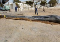 30 кг пластика медленно убили 10-метрового кашалота (ФОТО)