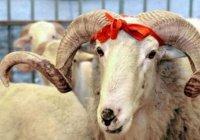 Татарстанцам советуют не покупать на Курбан-байрам баранов из Казахстана