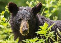 В США сняли игры дикого медведя на детском батуте (ВИДЕО)