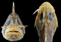 Обнаружена рыба со «складным ножом» в щеке