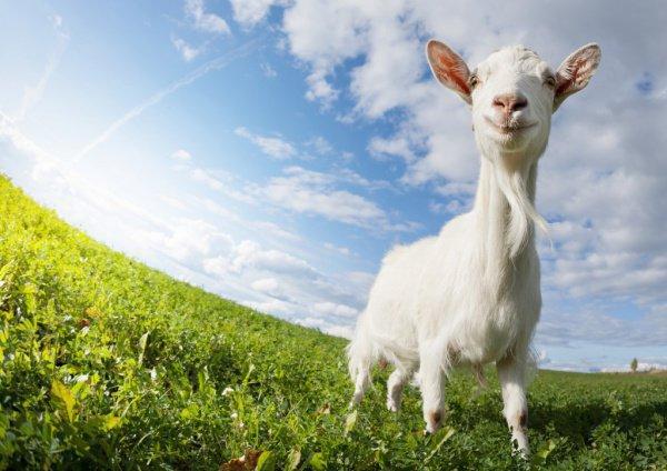 Футбольная коза была выбрана как животное, которое всегда почиталось в республике