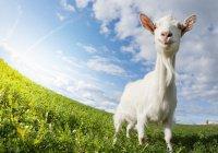 Футбольную козу выберут в Казани