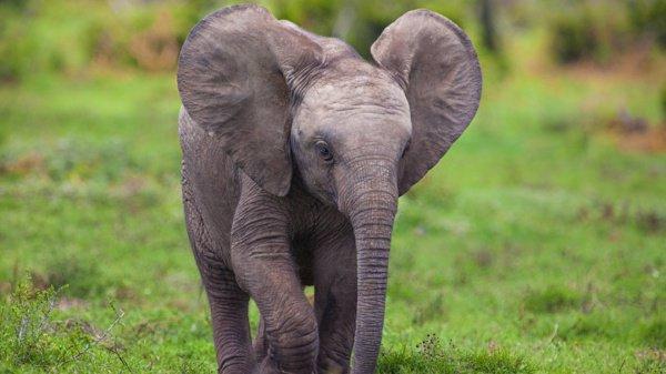 Его увезли в лагерь для слонов, где за ним присмотрят специалисты