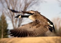 Военные США назвали самых опасных птиц