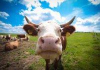 В Подмосковье коровы захватили детскую площадку (ВИДЕО)
