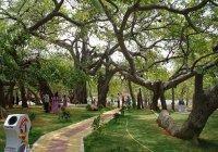 В Индии 700-летнему дереву ставят капельницы (ФОТО)