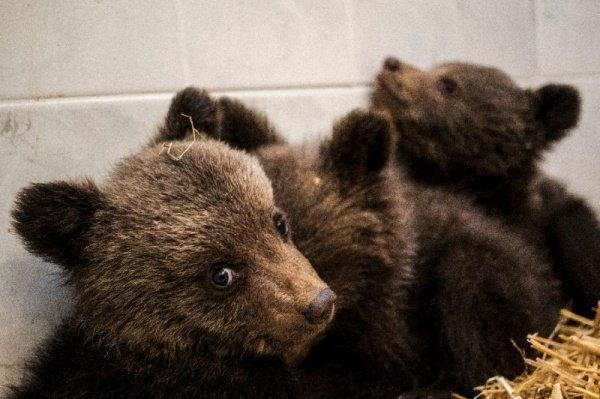Сейчас медвежата едят козье молоко и пьют витамины