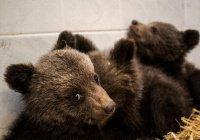 В Болгарии спасли 3 медвежат-сирот (ВИДЕО)