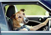 В Китае собака угнала грузовик (ВИДЕО)