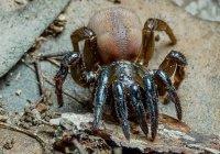 Старейший в мире паук умер в Австралии