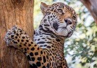 В Бразилии выдра напугала двух ягуаров (ВИДЕО)