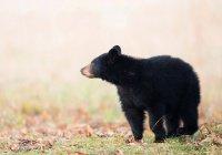 5 черных медведей пришли в гости к американке (ВИДЕО)