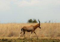 В Кении антилопа отбилась от шестерых хищников (ВИДЕО)