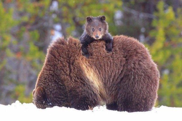 В объектив попала прогулка медведицы с медвежонком