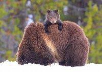 В Иркутской области медвежонок защитил мать (ВИДЕО)