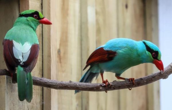 Яванские зеленые сороки имеют невероятный окрасом, который делает птиц похожими на персонажей известного комикса про черепашек-ниндзя