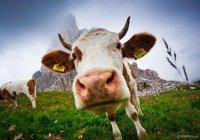 Актер из «Звездных войн» подружится с коровой