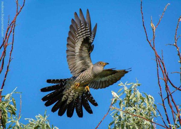 Было выявлено, что в Сибири в 14 случаях из 22 птицы избавлялись от инородного предмета