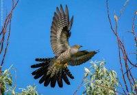 Биологов беспокоит нашествие птиц из России на Аляску