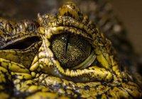 Во Флориде гуси прогнали аллигатора с поля для гольфа (ВИДЕО)