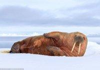 Сотни моржей захватили поселок в США