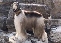 Житель Китая тратит на прическу собаки целое состояние
