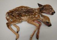 В США нашли олененка с 2 головами
