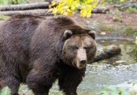 В тайге медведь спас людей, которых хотел съесть