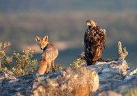 В США запечатлели сражение орлана и лисы (ВИДЕО)