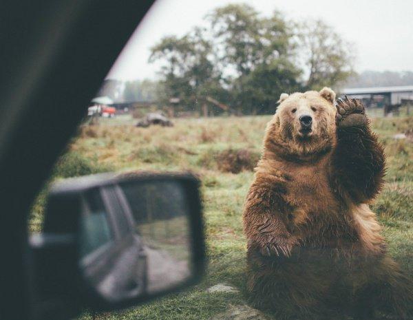 Испуганный медведь застрял вмашине ипринялся бибикать